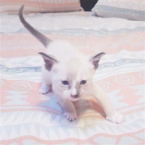 purebred siamese kitten for sale