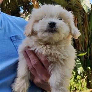 Mal-Shi Puppys