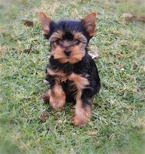 Teacup Female Yorkie puppy