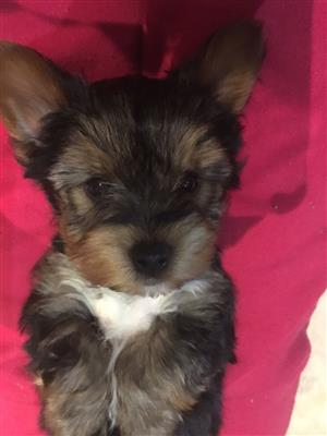 Beautifull yorkie male for sale