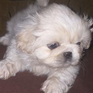 pekingese Male puppies