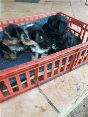 morkie males available