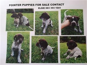 GERMAN SHORT HAIRED POINTERS FIR SALE