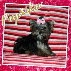 Small Yorkshire Terrier female puppies