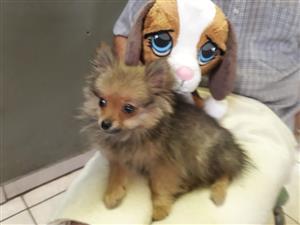 Miniature toypom male puppies