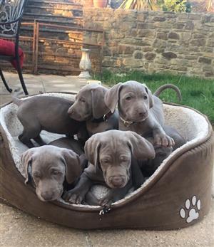 5 Purebred Weimaraner Puppies