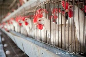 Chicken Egg Farming operation with 4 Bedroom House on 2.1ha property for Sale.