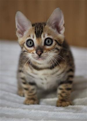 Bengal Kittens Ready Now!