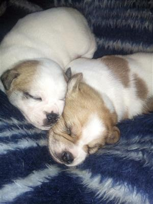 Jakenese puppies for sale