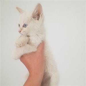 siamese crossed raggy kittens