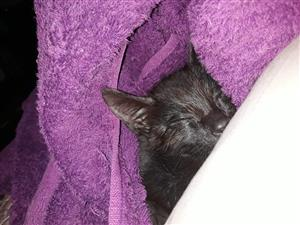 Gorgeous black kitten needs a loving home