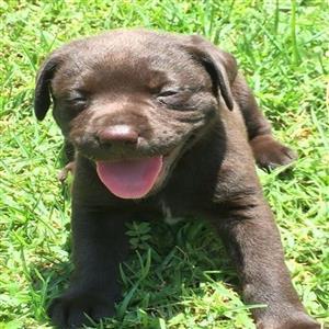 Brown Labrador Puppies For sale