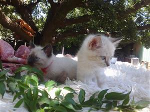Ragdoll Siamese kittens Red Fire point and Seal point mitten