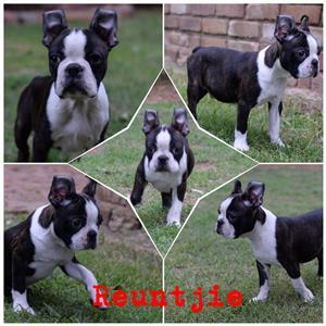 Mooiste Opregte Boston Terrier Hondjies te koop