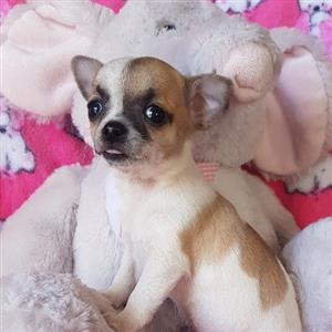 Chihuahua In Dogs And Puppies In South Africa Junk Mail