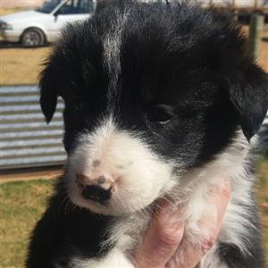 one pure bred border collie puppy left male
