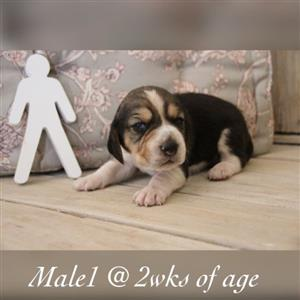 Registered Beagle puppies R3000 each