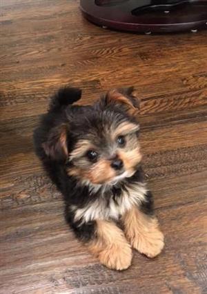 purebred miniature Yorkshire puppy