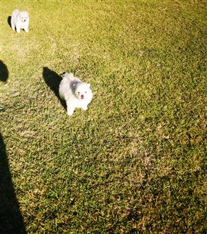 Purebred Pomeranian girls for sale
