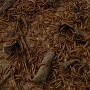 mealworms for sale R50 for 1000 at dedeur
