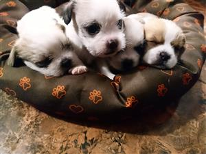 Crossed Jack russell and pekinese Puppies