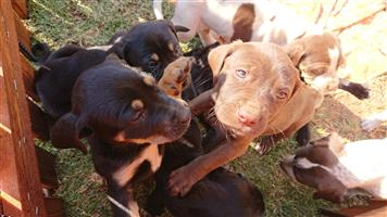 Beautiful Labrador Pointer puppies for sale.