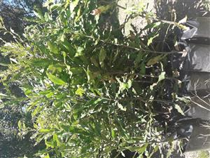 Macadamia Nut trees for sale