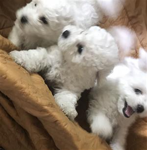 8 Weeks Old Bichon Frise Puppies