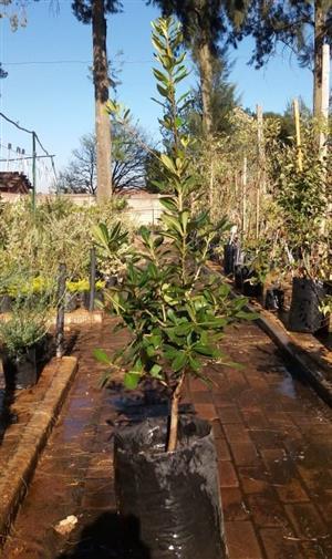 Pittosporum (Cheesewood trees)