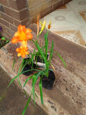 Day lilies for sale. R25 each.