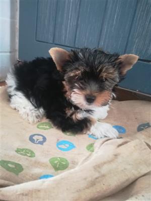 KUSA registered Biewer Terrier Puppy