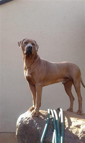 Thoroughbred Rhodesian Ridgeback Puppies