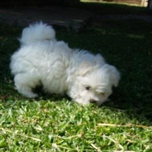 Maltese puppies for sal