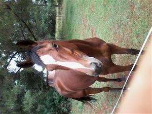 lovely thoroughbred mare for sale