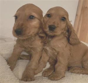 Golden Spaniel pups