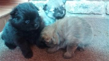 3 Beautiful Male Toy Poms