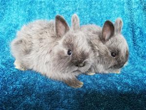 Angora dwarf rabbits.