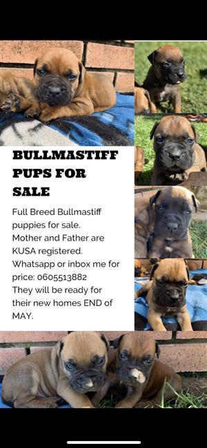 Bullmastiff Pups for sale