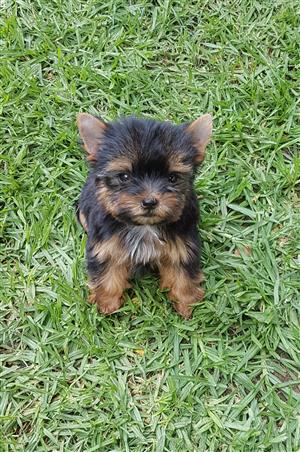 Traditional Teacup Female Yorkie
