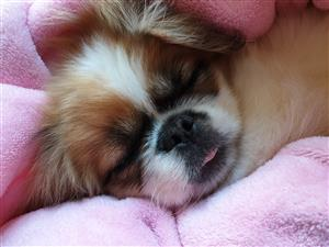 Pure Bred Pekingese Puppies For Sale - Registered