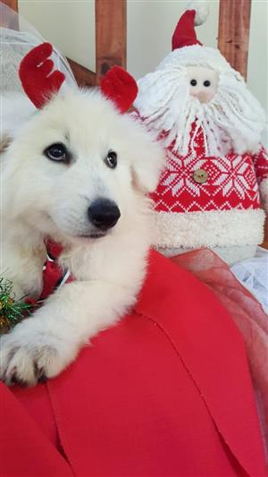 White Swiss Shepherd Male Puppy KUSA REGISTERED