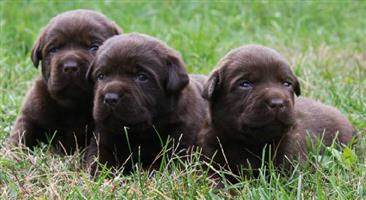 Pure Bred Chocolate Labradors For Sale