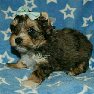 Blue eye blue merle yorkie boy puppy