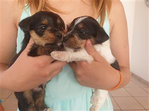yorkie small puppies