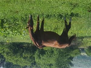 Horse/Perd