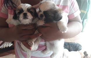 Peginese puppies for sale 6 weeks old