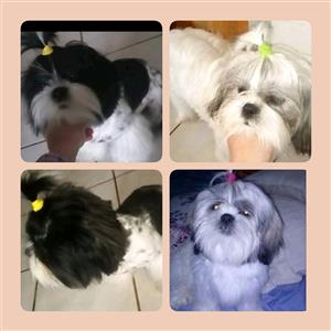 Beautiful Shih Tzu's looking for a Good and Loving home.