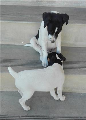 Long Legged Fox Terrier Puppy