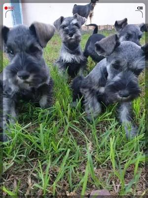 Adorable Schnauzer Pups