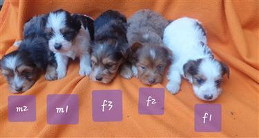 Registered miniature Yorkshire puppies